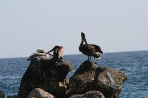 Cabo san lucas birds